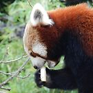 Red Panda Print 17 by NonfatalNerdism