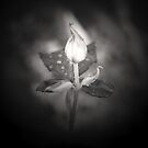 Black and white friendship rose by samhicks
