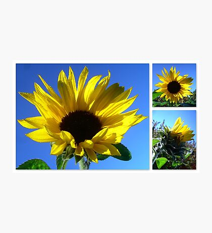 Sunflowers with morning dew  Photographic Print