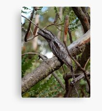Tawny Frogmouth in the Jarrah-Marri forest, WA Canvas Print