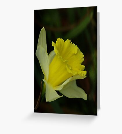 Yellow Daffodil  (Spring) Greeting Card