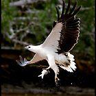 Sea Eagle 101 by John Van-Den-Broeke