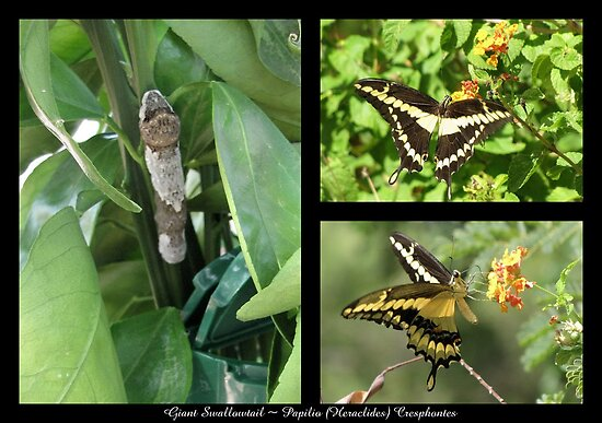 Butterfly Collage ~ Giant Swallowtail by Kimberly Chadwick