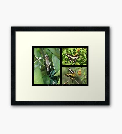Butterfly Collage ~ Giant Swallowtail Framed Print