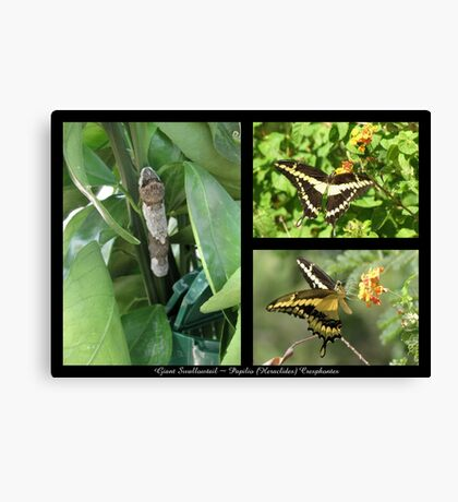 Butterfly Collage ~ Giant Swallowtail Canvas Print