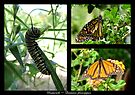 Butterfly Collage ~ Monarch by Kimberly Chadwick