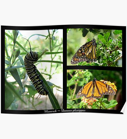 Butterfly Collage ~ Monarch Poster