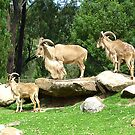 Barbary Sheep by Keith Richardson