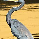 Tri-colored (Lousiana) heron in profile by Anthony Goldman