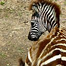 Young Zebra Foal by Keith Richardson