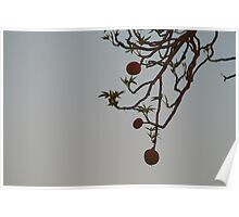 Boab Tree seeds Poster