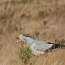 Secretary bird stands in profile by Owed To Nature