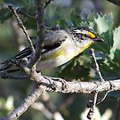 Striated Pardalote by Rick Playle