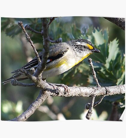 Striated Pardalote Poster