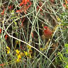 House Finch by K D Graves Photography