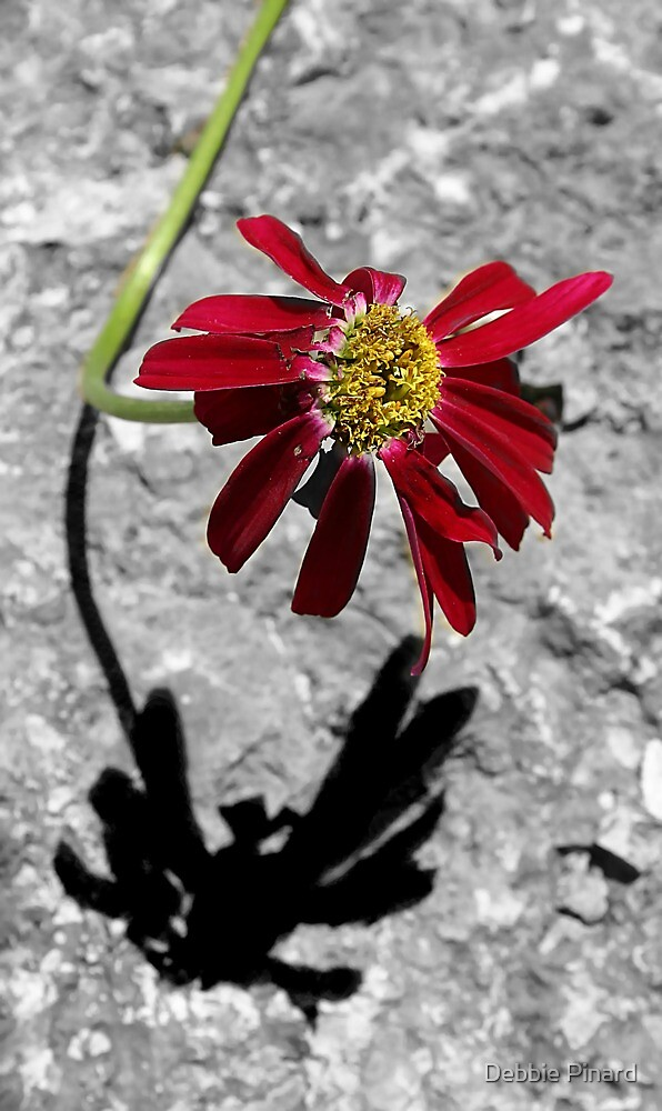 Red Daisy - Dunrobin Ontario by Debbie Pinard
