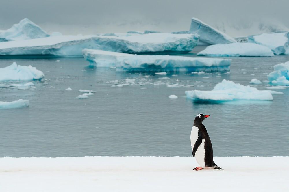 Gentoo on Ice by Craig Goldsmith