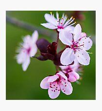 Blossom. Photographic Print