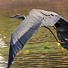 Great blue heron in flight by Anthony Goldman