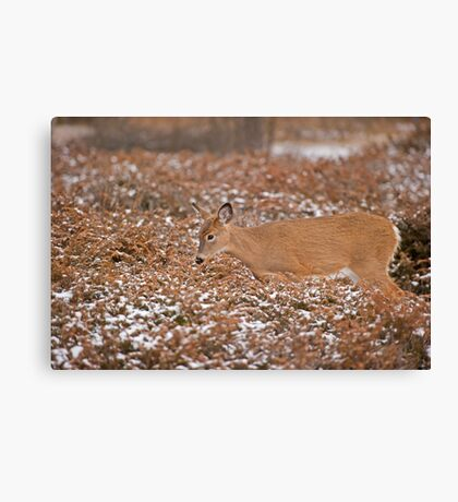 Blending in with the junipers Canvas Print