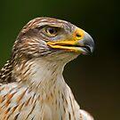Ferruginous Hawk Portrait by Daniel  Parent