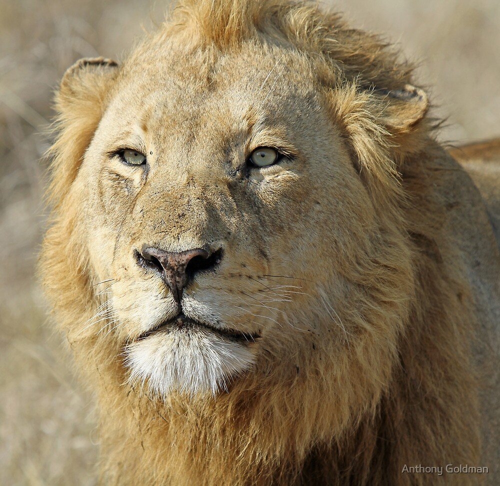 Majingilane lion(I am king!) by Anthony Goldman