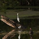 Little Egrets and Australian Black Swan by Odille Esmonde-Morgan