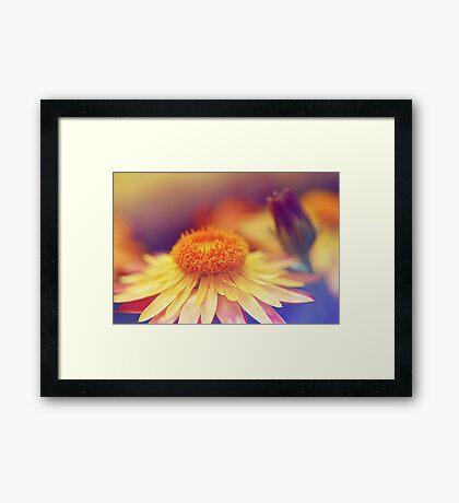 Softest Orange Petals Framed Print