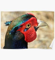 Metallic Highlights - Common Pheasant - NZ Poster