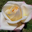 'DOUBLE DELIGHT!' It cerainly is. Rose. by Rita Blom