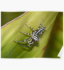 Metallic Green Jumping Spider - Mackay Botanical Gardens Poster