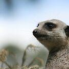 Meerkat portrait by Joanne Emery