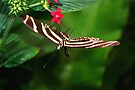 In Balance Zebra Longwing - Heliconius charithonia by Lepidoptera