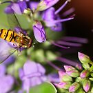 Hoverfly by Jane-in-Colour