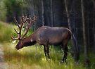 Alberta Elk  by Elaine  Manley