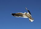 I Am Not Just Another Gull by Corri Gryting Gutzman