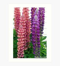 New Zealand Lupin Art Print