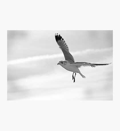 Seagull in Black and White Photographic Print