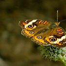 Butterfly Garden Guest     ^ by ctheworld