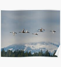 Trumpeter Swan Migration Poster