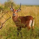 Waterbuck by naturalnomad
