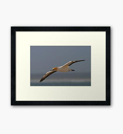 Cape Gannet Framed Print