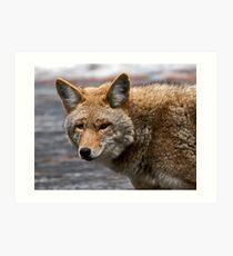 Yosemite Coyote Art Print