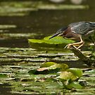 Green Heron - Ontario, Canada by Raymond J Barlow