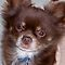 """Images that Began With the Letter """"C"""" such as Chihuahua"""