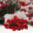 White snow on red berries by Sandra  Degnan