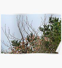 Blackbird  In  Beech  Hedgerow Poster