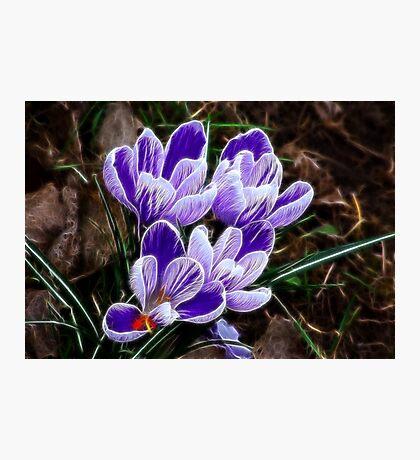 Beautiful Crocus Photographic Print