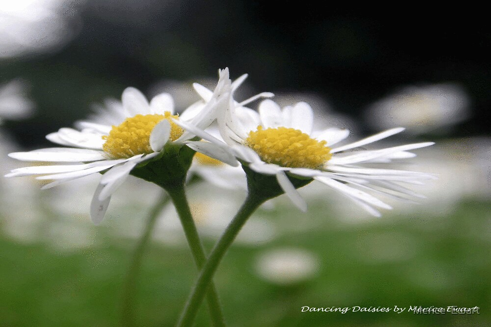 """""""Dancing Daisies"""" by Merice  Ewart"""