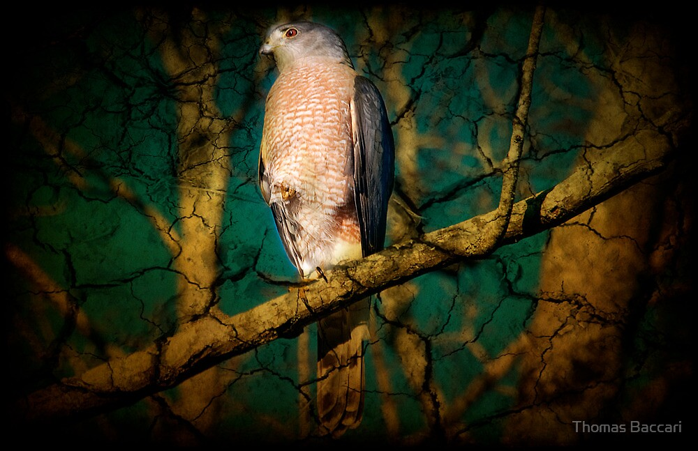 Coopers Hawk - (2) by TJ Baccari Photography